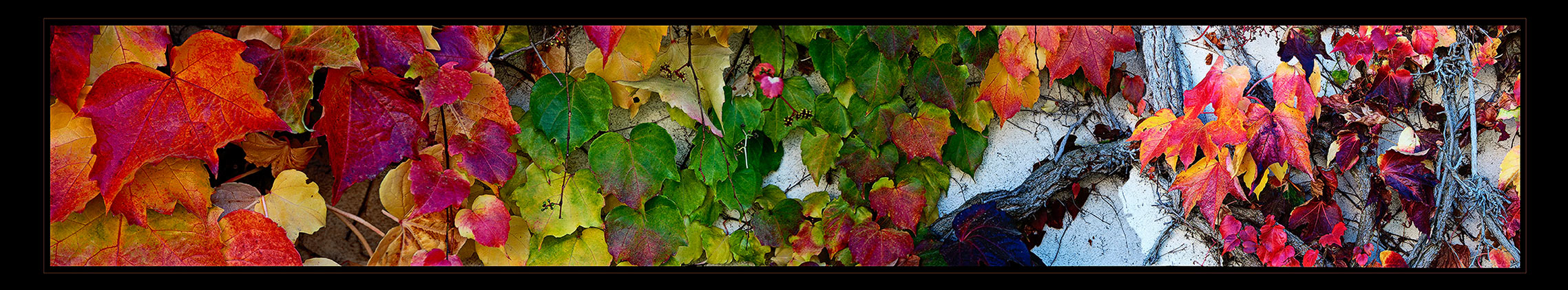 Autumn colors of grape leaves