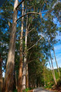 Eucalypt trees Monchique Portugal