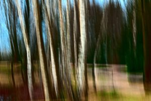 Painterly photo of group of birches 2